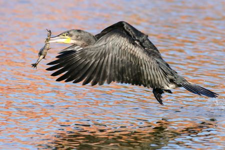 Whitebreasted Cormorant with a frog that it caught