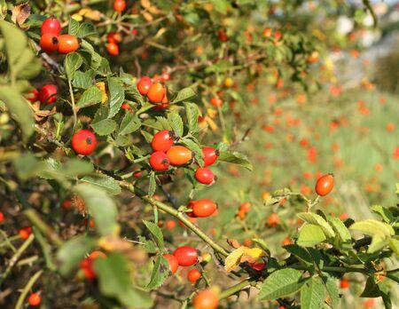 Wild rose hip shrub in nature