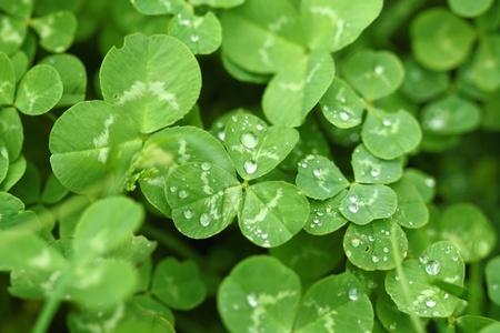 Shamrock with raindrops. St Patricks day