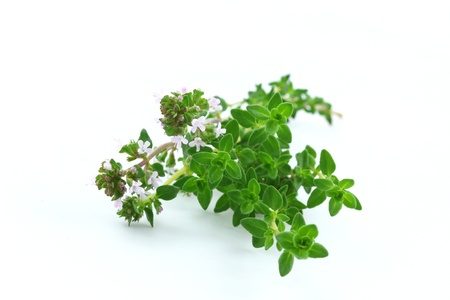 Thyme branch isolated