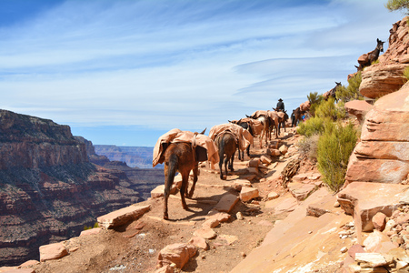 Mule pack train climbes from the bottom of the Grand Canyon. South Kaibab trail