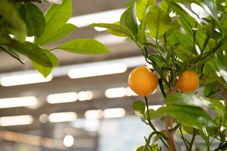 Foto de Tangerines on a tree branch. Fresh and beautiful citrus - Imagen libre de derechos