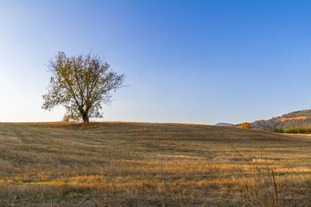 Foto per Lonely tree in the Tuscan countryside - Immagine Royalty Free