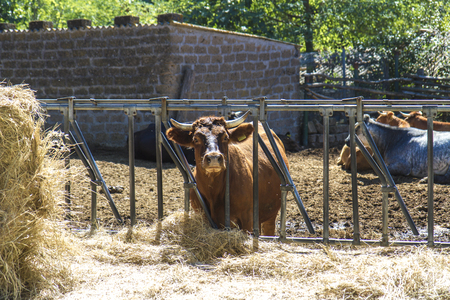 Foto per cow at rest - Immagine Royalty Free