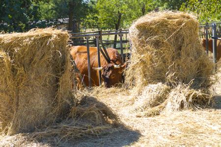 Foto per cow - Immagine Royalty Free