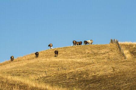 Foto per bovini al pascolo in collina - Immagine Royalty Free