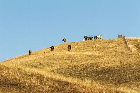 Foto per mucche e buoi al pascolo in collina toscana - Immagine Royalty Free