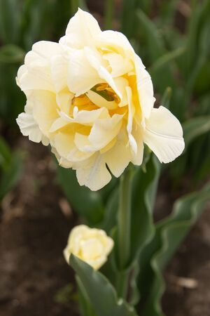 white tulip with a yellow tinge in the garden
