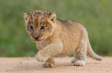 Small Lion cub, (Panthera leo) in South Africa