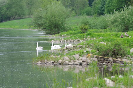 Swans swimming in the river