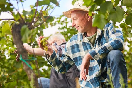 Foto für Duck helpers pick grapes during the manual grape harvest in the vineyard - Lizenzfreies Bild