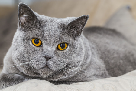 Grey Cat - British Shorthair