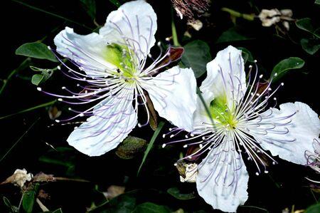 caper blossoms