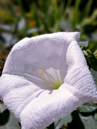 Stramonium white open flower