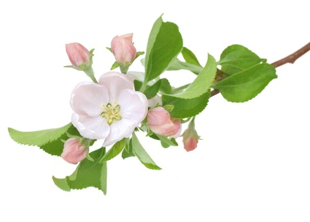 Apple Spring Flowers. Blossom