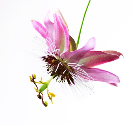 Photo pour Passiflora Flower over white  - image libre de droit