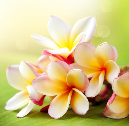 Photo for Frangipani Tropical Spa Flower  Plumeria  - Royalty Free Image
