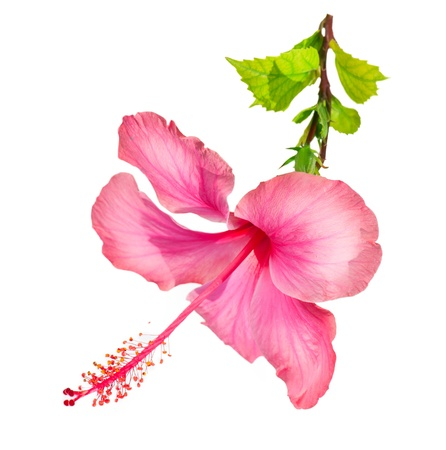 Photo for Hibiscus Flower  - Royalty Free Image