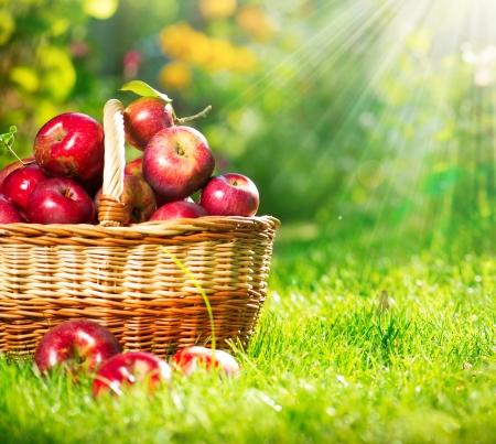 Photo pour Organic Apples in the Basket  Orchard  Garden  - image libre de droit
