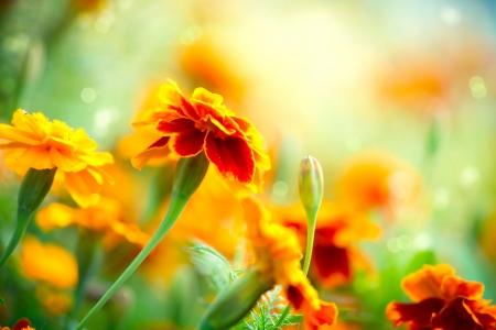 Photo for Tagetes Marigold Flower  Autumn Flowers Background  - Royalty Free Image
