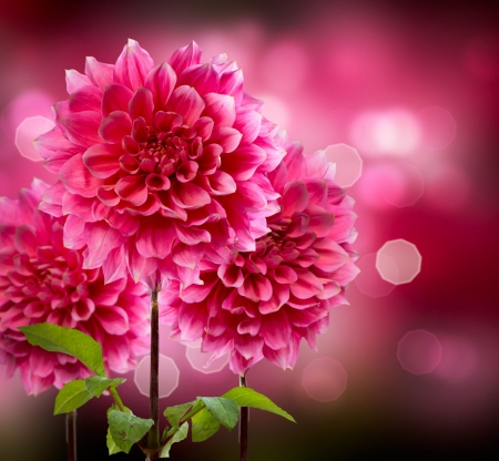 Photo for Dahlia Autumn Flowers - Royalty Free Image