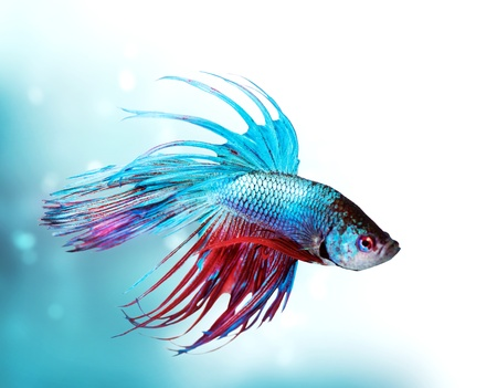 Foto de Colorful Betta Fish closeup  Dragon Fish  Aquarium - Imagen libre de derechos