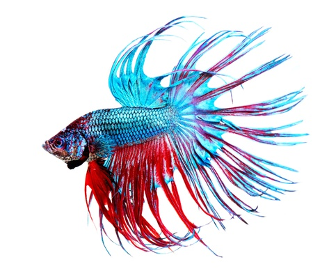 Foto de Betta Fish closeup  Colorful Dragon Fish - Imagen libre de derechos