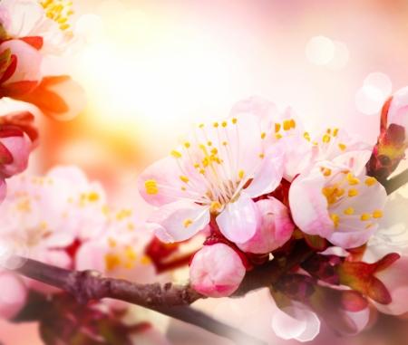 Spring Blossom  Apricot Flowers