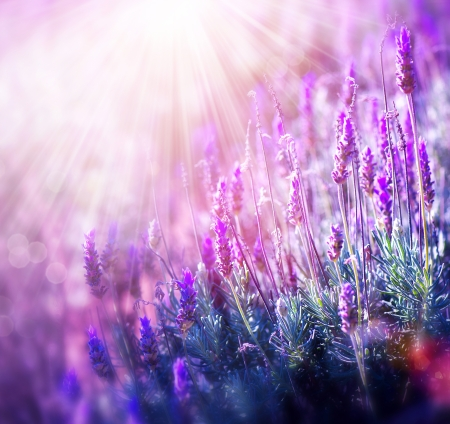 Photo for Lavender  - Royalty Free Image