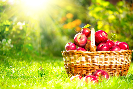 Organic Apples in a Basket outdoor  Orchard  Autumn Garden