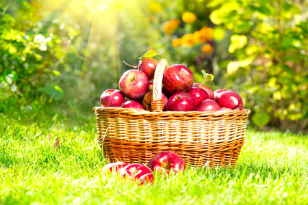 Organic Apples in a Basket outdoor  Orchard