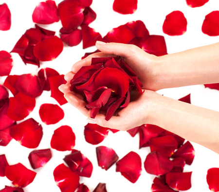 Rose petals in female hands over white backgroundの写真素材