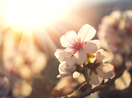 Spring blossom background. Nature scene with blooming treeの写真素材