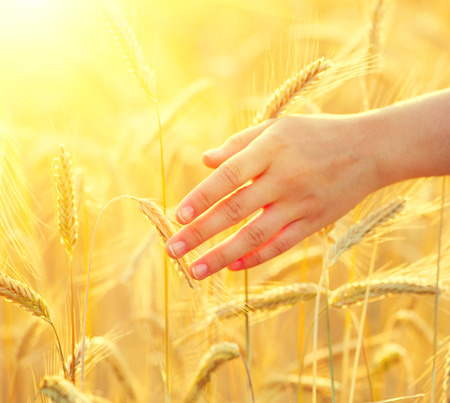 Girl's hand touching yellow wheat ears closeup. Harvest concept