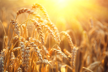 Foto de Golden wheat field. Ears of wheat close up. Beautiful Nature Sunset Landscape. Rural Scenery under Shining Sunlight. Background of ripening ears of meadow wheat field. Rich harvest Concept - Imagen libre de derechos