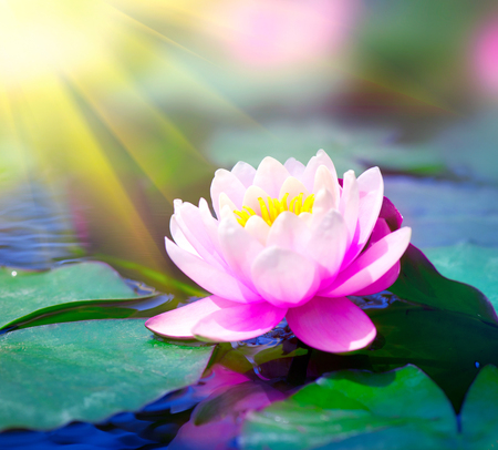 Water lily closeup in a pond. Lotus flower