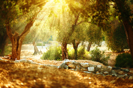 Photo for Olive trees garden. Mediterranean olive orchard with old olive tree - Royalty Free Image