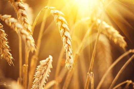 Wheat field. Ears of golden wheat closeup