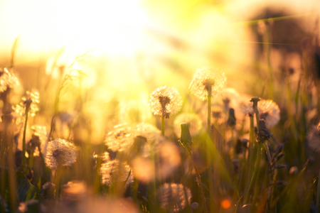 Dandelion field over sunset background. Dandelions blowing seeds in the wind. Nature scene