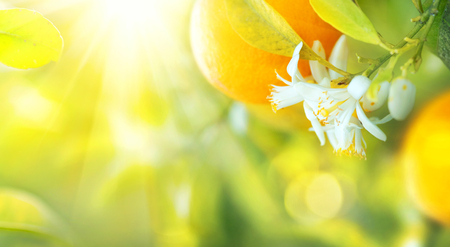 Photo for Blossoming orange or lemon tree. Healthy organic lemon or orange growing in sunny orchard - Royalty Free Image