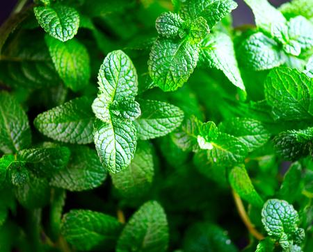 Mint. Fresh mint leaves background closeup. Growing organic mint