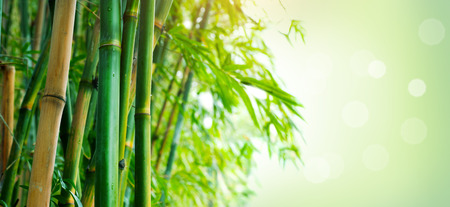 Photo for Bamboo forest. Growing bamboo over blurred sunny background - Royalty Free Image