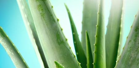Foto de Aloe Vera closeup. Aloevera plant on blue background. Natural organic renewal cosmetics, alternative medicine. Skincare concept - Imagen libre de derechos