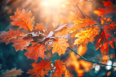 Photo pour Autumn colorful bright leaves swinging on an oak tree in autumnal park. Fall background. Beautiful nature scene - image libre de droit