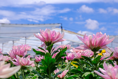 Photo for Pink Chrysanthemum flower in the gerden - Royalty Free Image