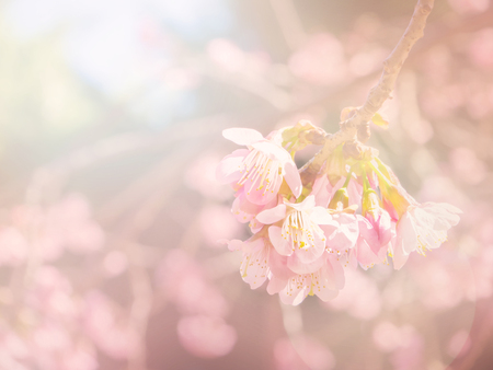 Abstract sof and blur pink sakura for background