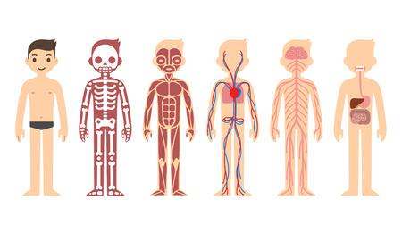 Illustration pour Anatomy diagram - image libre de droit