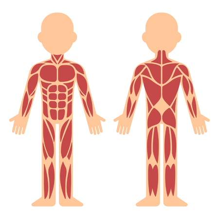 Illustration pour Stylized muscle anatomy chart, front and back. Male body major muscles, flat cartoon vector style infographic illustration. - image libre de droit