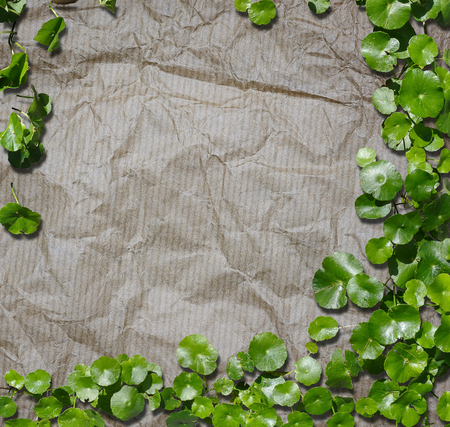 Hydrocotyle [ centella asiatica ] on the recycled paper background