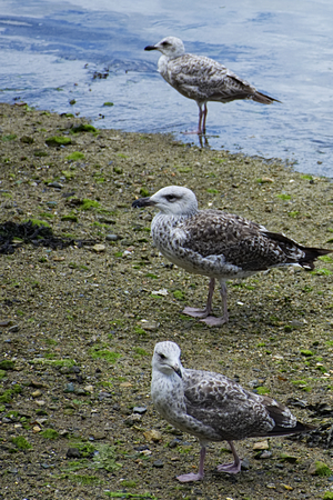 Three gulls in a row over each other